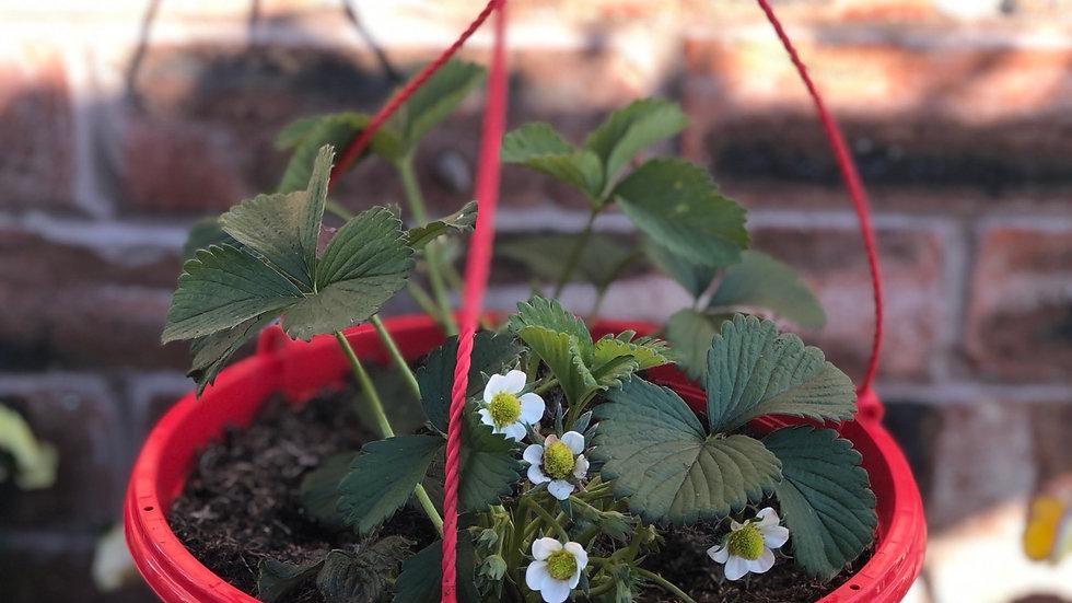 "Strawberry ""Elsanta"" Hanging Pot"