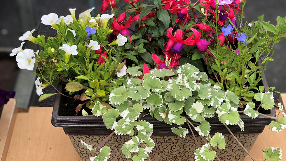 Window Box (Trough) - Summer Planted