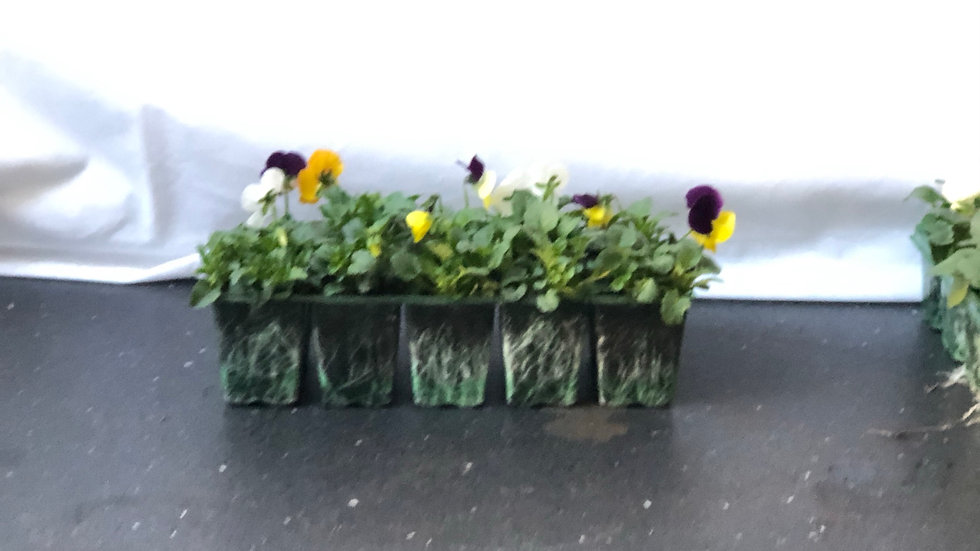 Violas - Mixed Colours - Pack of 10