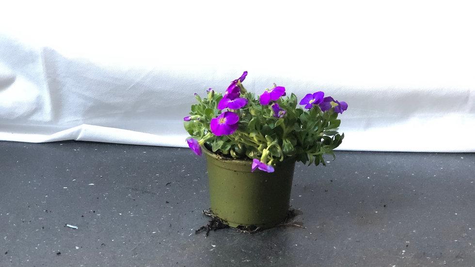 Aubrieta - Bluey Purple