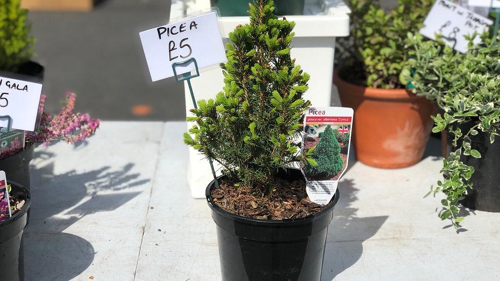 """Picea """"Albertina"""" """"Conica"""" Conifer"""