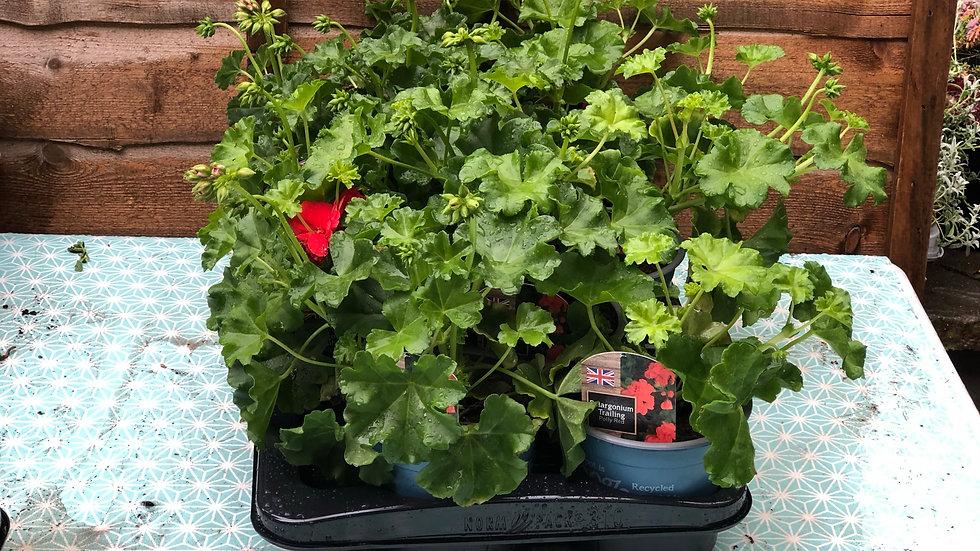 Trailing Pelargoniums (Geraniums) - Polly Red