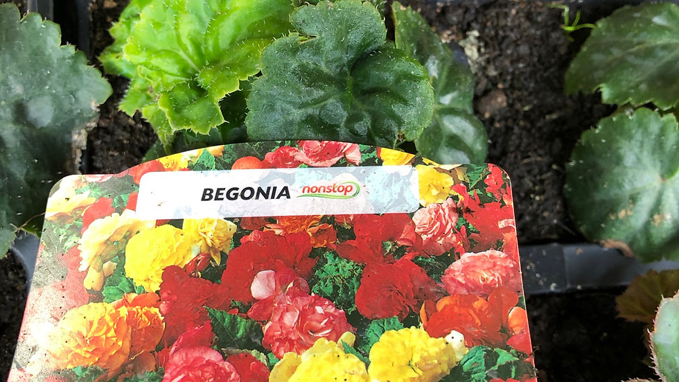 Nonstop Begonias - Mixed Colours (4 Pack)