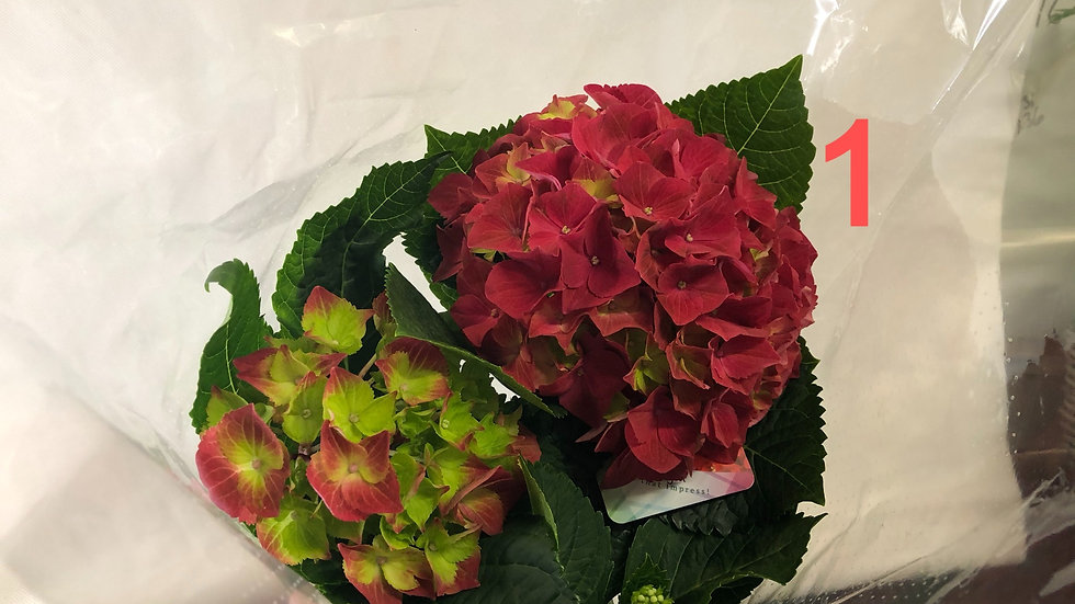 Hydrangea (not to be planted outdoors until May)