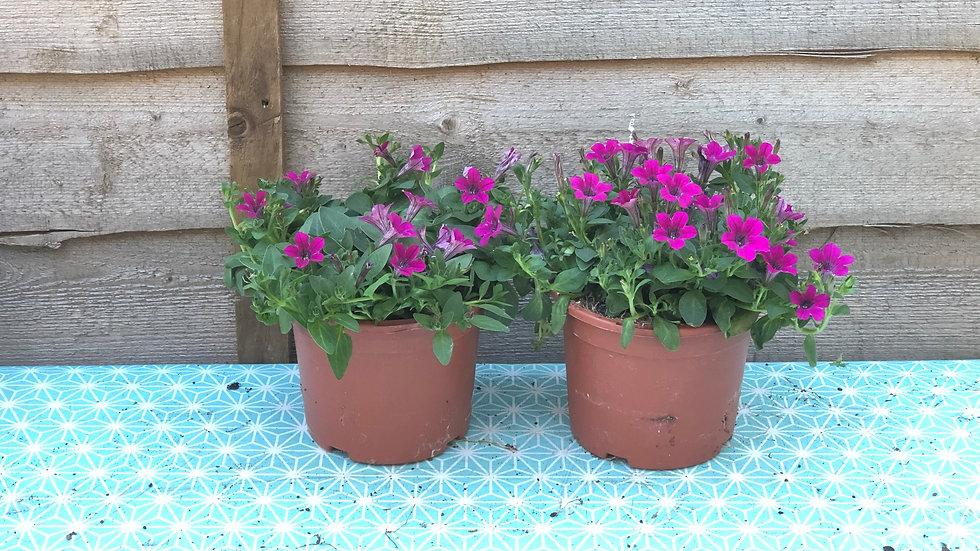 Trailing Petunias (Milliflora) - Mini Flowered - Pink