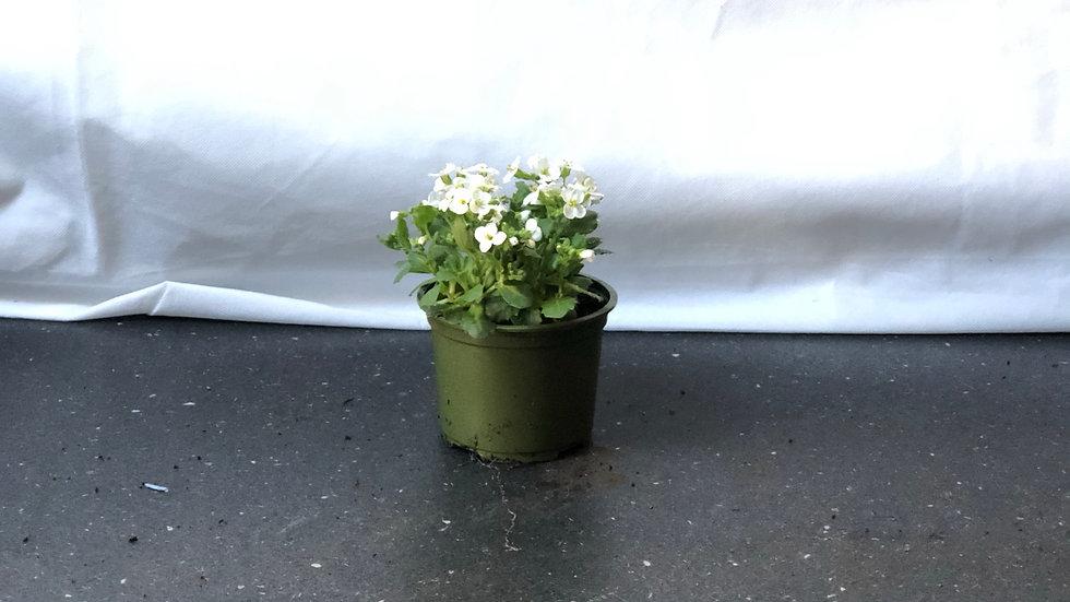 Aubrieta - White