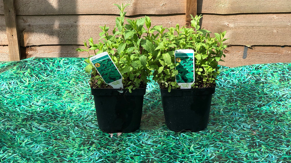Herbs - Garden Mint (2L Pot)