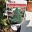 "Thumbnail: Picea ""Albertina"" ""Conica"" Conifer"