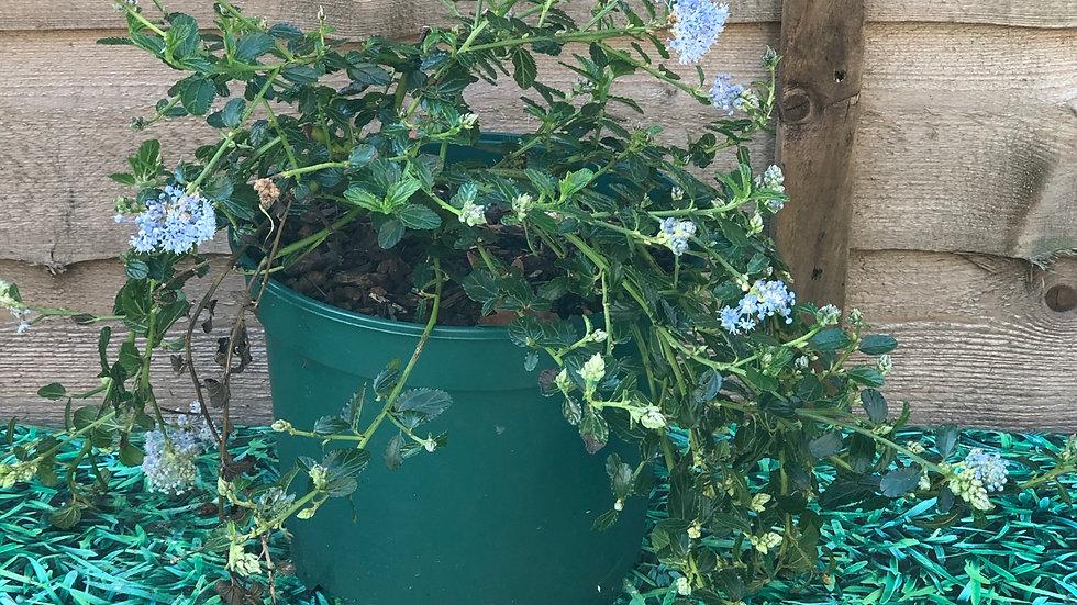 Ceanothus Repens ( Creeping Blueblossom) - 2L Pot