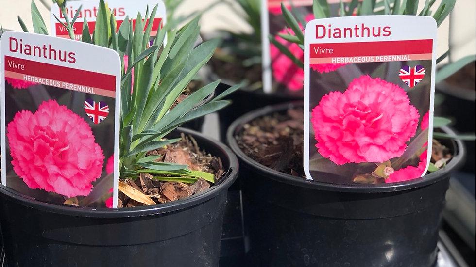 """Dianthus """"Vivre"""""""