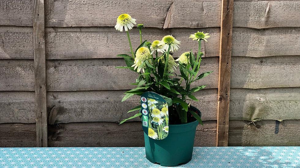 """Echinacea """"Delicious Nougat"""" 2L Pot"""