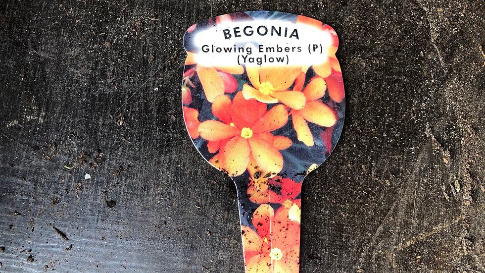 "Begonia ""Glowing Embers"" (1L Pot)"