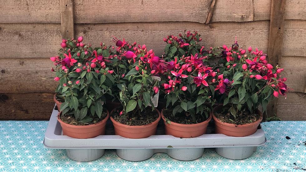 Bush Fuchsia - Diva (Rose & Violet)