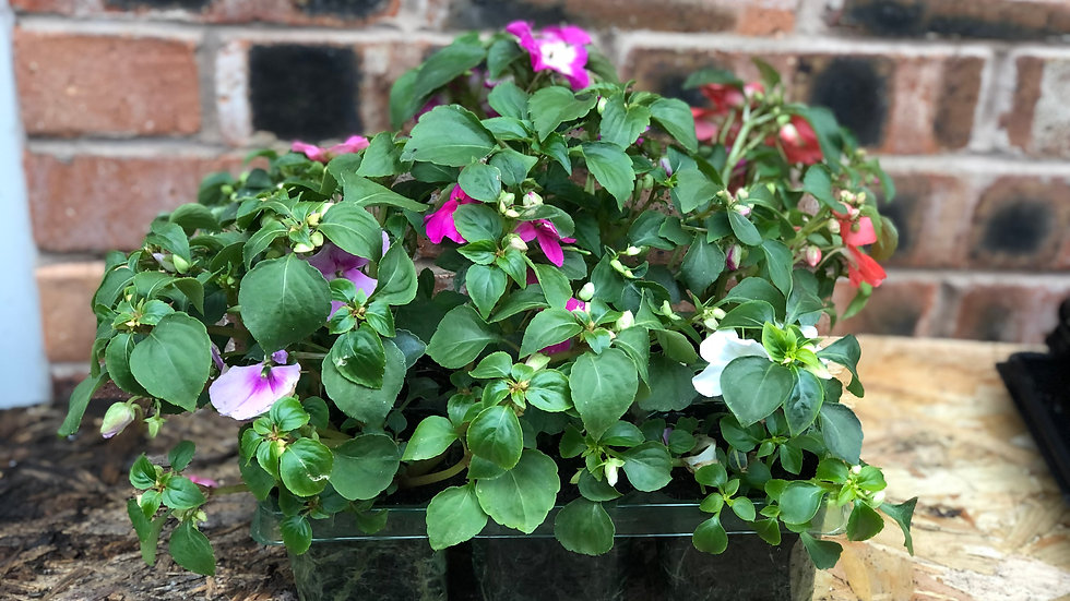 Impatiens - Busy Lizzies (6 Pack)