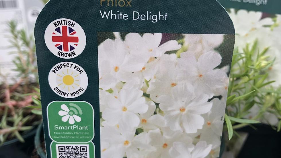 "Phlox ""White Delight"""
