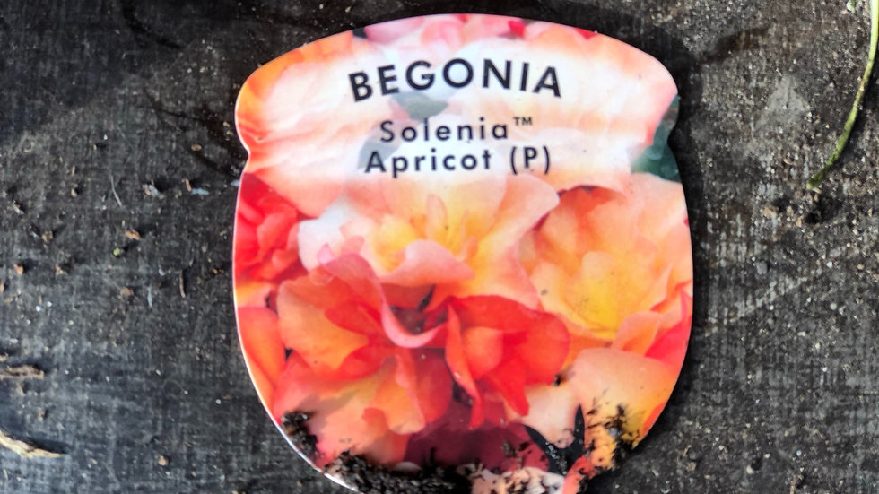 """Begonia """"Solenia"""" Apricot (1L Pot)"""