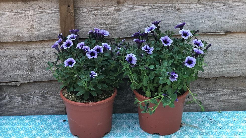 Trailing Petunias (Milliflora) - Mini Flowered - Purple