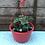 "Thumbnail: Strawberry ""Elsanta"" Hanging Pot"