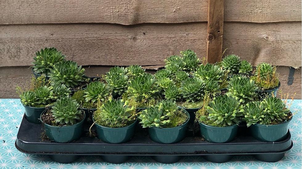 Sempervivum - Succulents - Rockery
