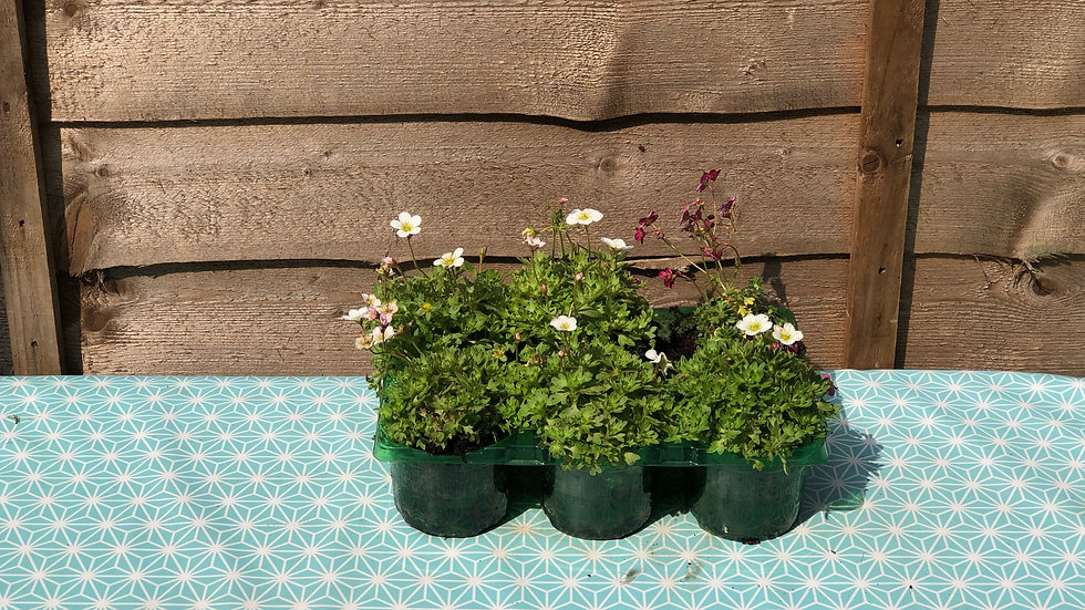 6 x Saxifraga - Special Offer