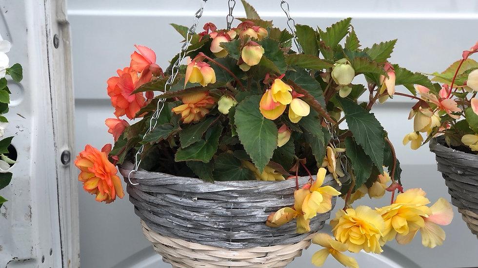 """14"""" Trailing Begonia Wicker Hanging Basket"""