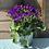 Thumbnail: Senetti - Purple - 2L Pot