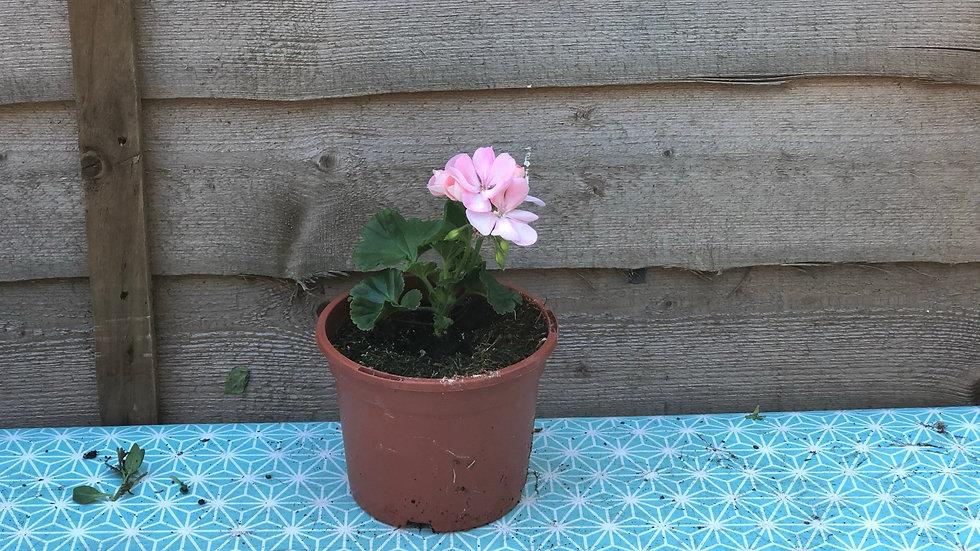 Zonal Pelargonium - Pink (Geranium)
