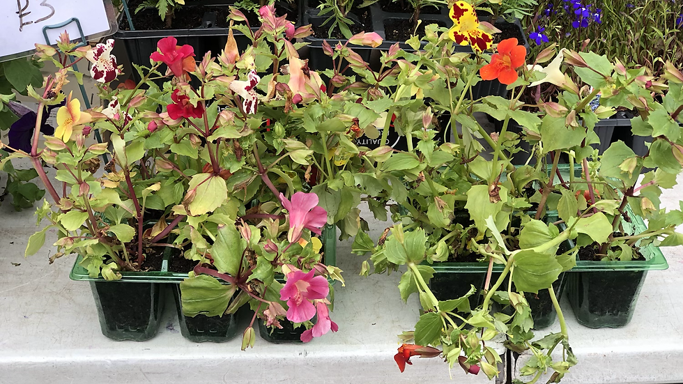 Mimulus - Mixed Colours - Tray of 9