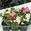 Thumbnail: Bedding Begonia Semperflorens (6 Pack)