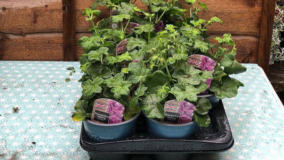Trailing Pelargoniums (Geraniums) - Amelit