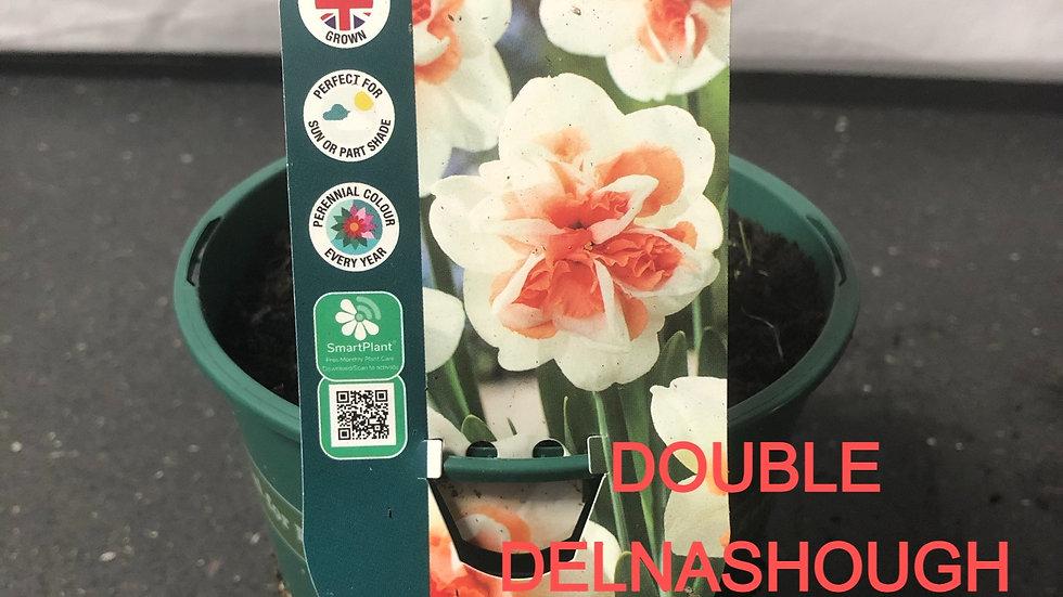 Narcissus Bulb Pot - Various varieties