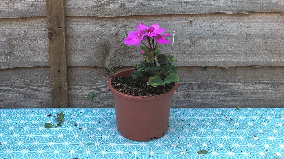 Zonal Pelargonium - Lavender (Geranium)