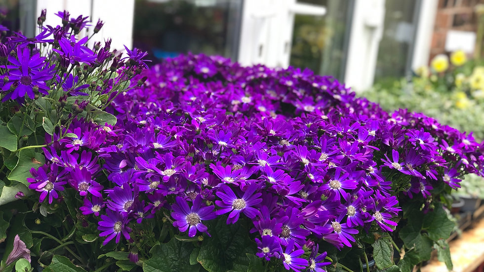Senetti - Purple - 2L Pot