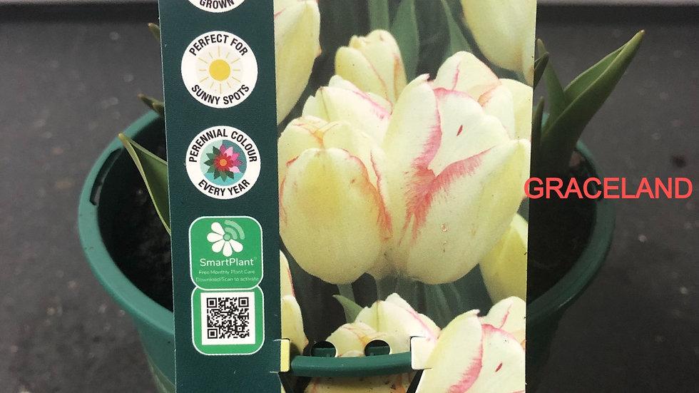 Tulip Bulb Pots - Various Varieties
