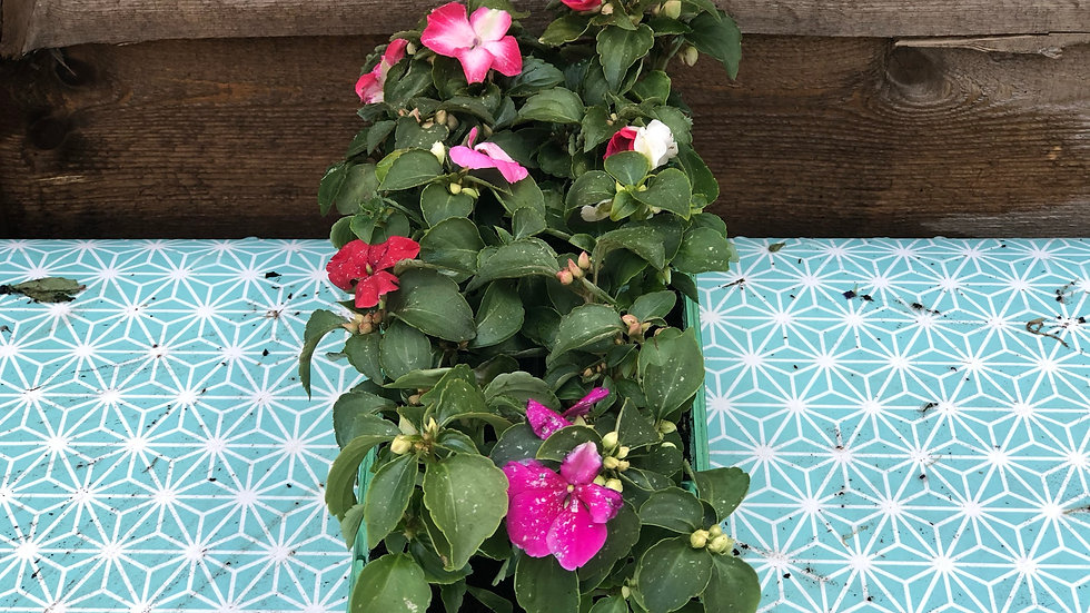 Impatiens (Busy Lizzies) - 10 Pack