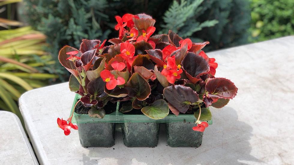 Bedding Begonia Semperflorens (6 Pack)