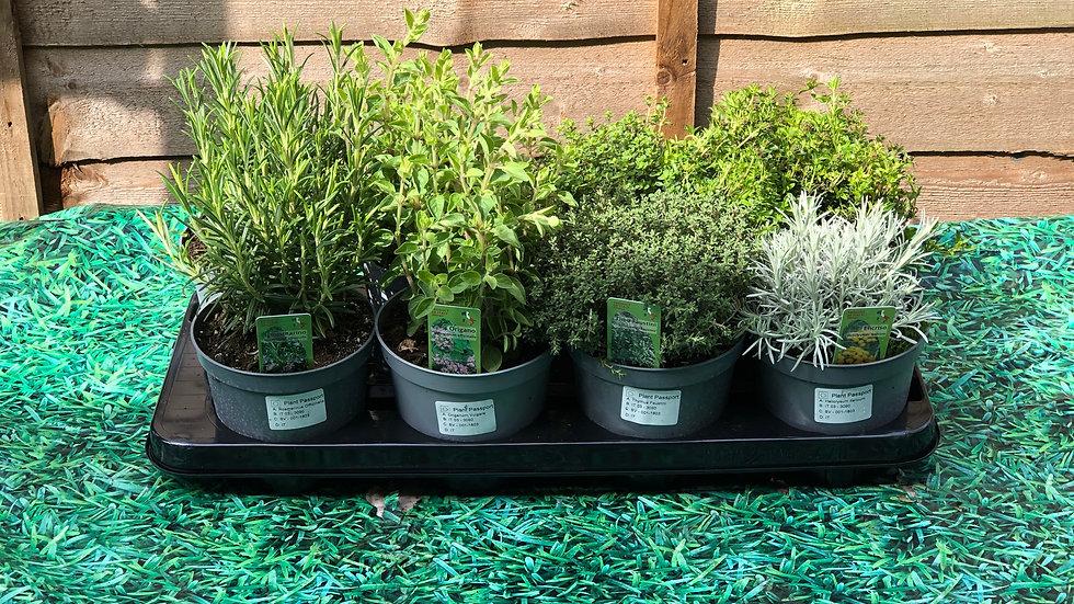 Italian Herbs - Garden Thyme (Thymus Faustini) - 1L Pot