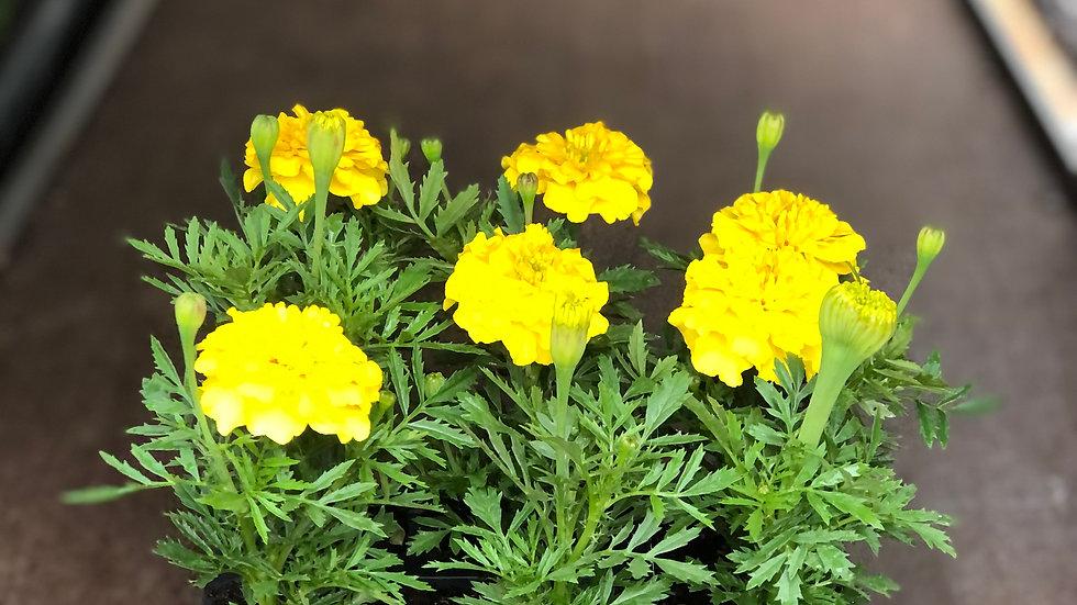 French Marigolds - Yellow or Orange