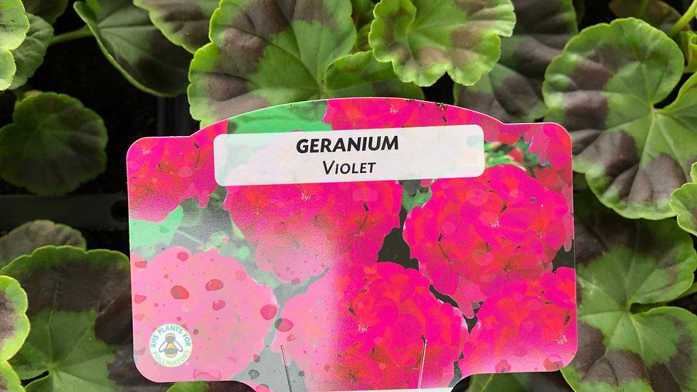 "Geraniums - ""Violet"" - 4 Pack"