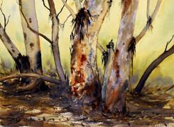 Joe Cartwright - River Red Gums at the Flinders Ranges