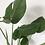 Thumbnail: Monstera (Cheese Plant)
