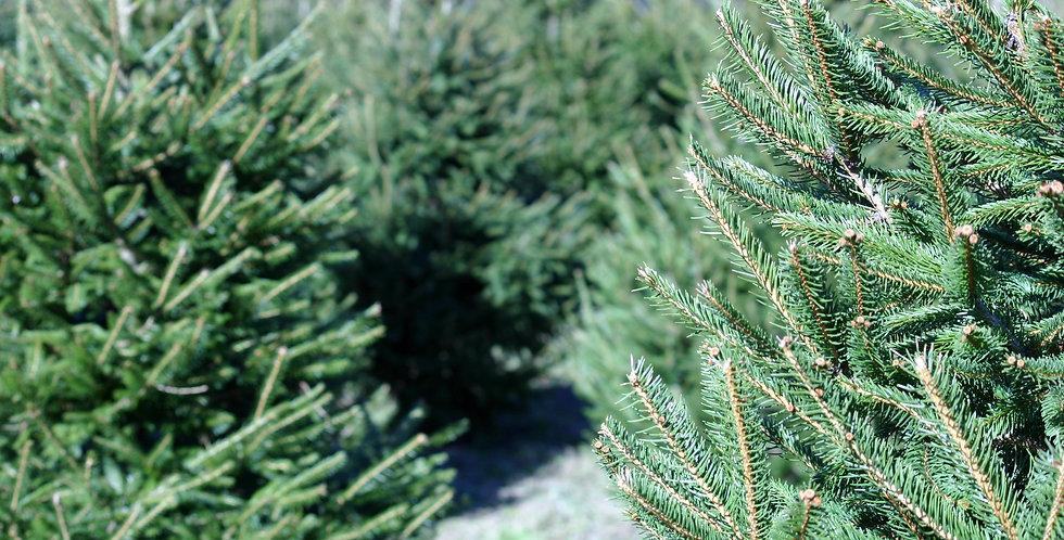Pre Order Christmas Trees