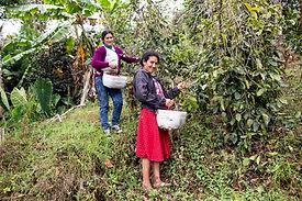 Två kvinnor plockar kaffebönor på kaffefarmen El Balcon, La Palma Central