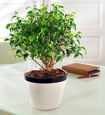Ficus o Laurel de la India