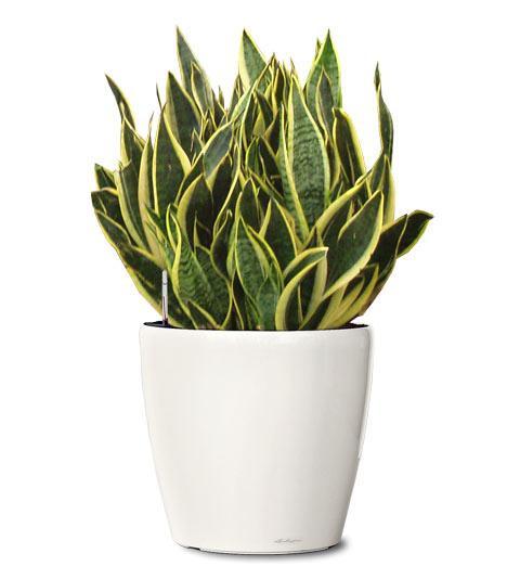 Sanseviera, Planta Serpiente o Lengua de Suegra