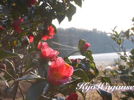 椿の花言葉は「控えめなすばらしさ」 「気取らない優美さ」