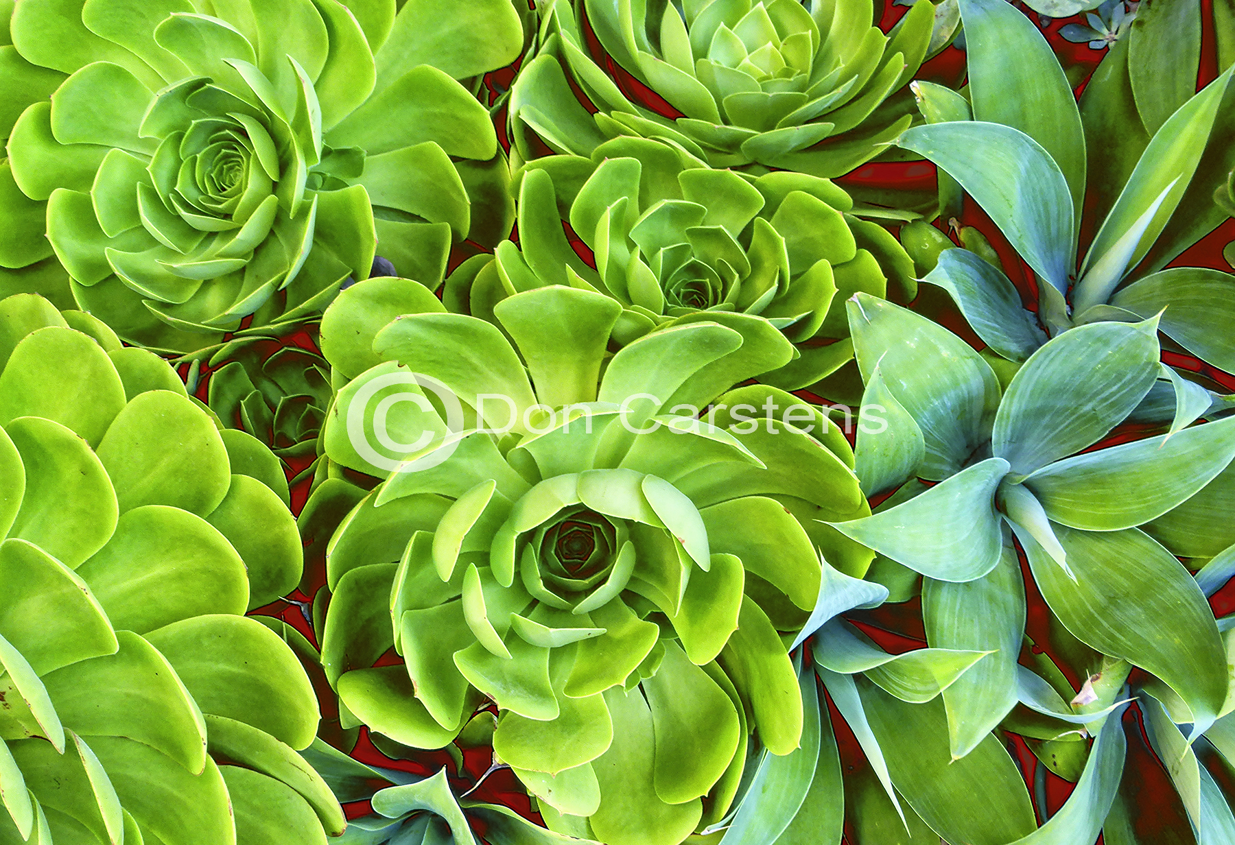 Succulents Green & Scarlet W