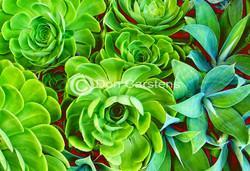 Succulents Green & Scarlet W