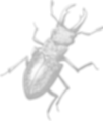 Stag Beetle CG 5C.png