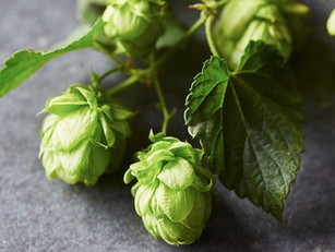 Hops-Based Supplements for Menopausal Symptoms Aren't Likely to Cause Drug Interactions